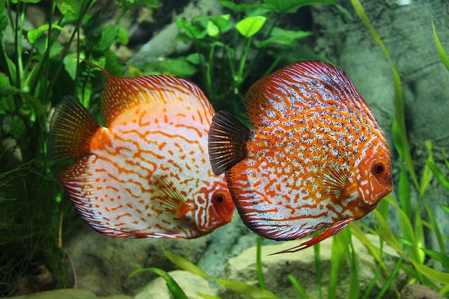 okrasné rybky